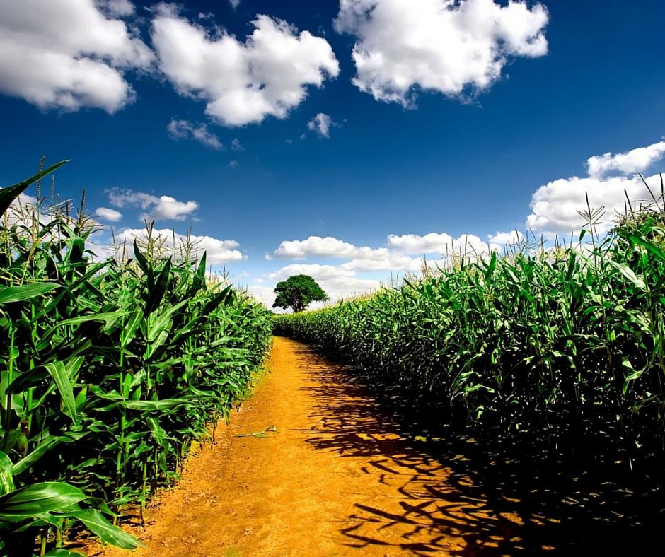 abono para el maiz, semillas